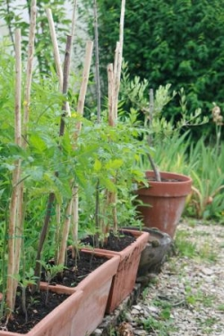 Quelques uns des 12.497 plants de tomates semés...
