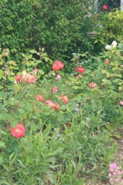 Quelques roses, oranges, roses et blanches
