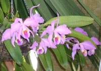 orchid11m.3