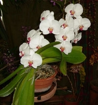 orchid13m.3