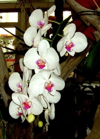 orchid17m.3