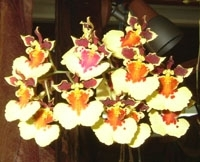 orchid_18m.3