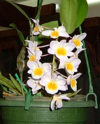 orchid_23m.3