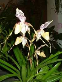 orchid_26m.3
