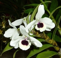 orchid_27m.3