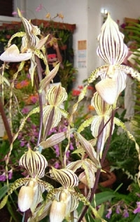 orchid_29m.3
