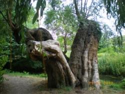 saule à Giverny
