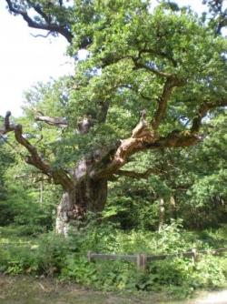 forêt de Sénart - Chêne de 500 ans
