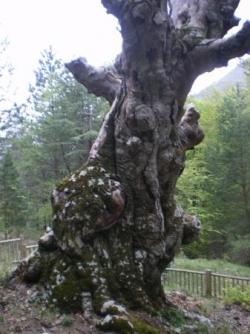 hêtre de la forêt de Nans -saint Vallier (06)