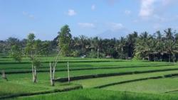 Les rizieres a Ubud