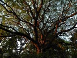 Branches dorées