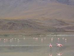 Flamands sur la lagune