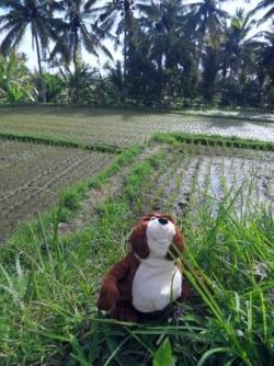Norbert, ravi, dans les rizieres