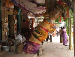 Arbre à berceaux, Madurai