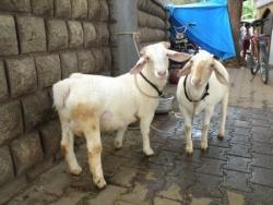 Doux agneaux !