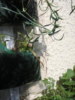Oeillets increvables parfumés vivaces dans Jardin