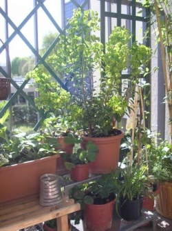 Euphorbes et fraisiers
