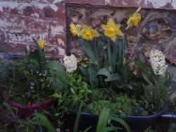 Bulbes et ruine de Rome en fleurs