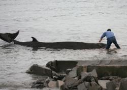 Baleine à la peine