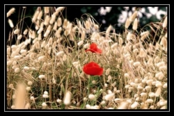chatons_coquelicots.jpg
