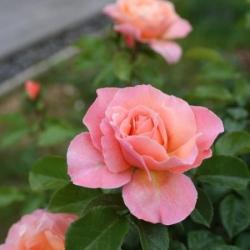 ROSE MARIE CURIE