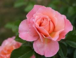 ROSE MARIE CURIE 2